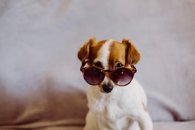 Leuke kleine hond die moderne zonnebril draagt die op de bank zit. grijze achtergrond. binnenshuis. liefde voor dieren concept