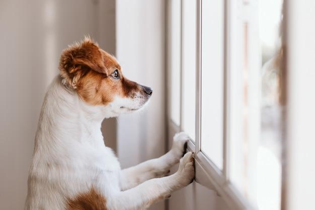 Leuke kleine hond die zich op twee benen bevindt en weg door het venster kijkt
