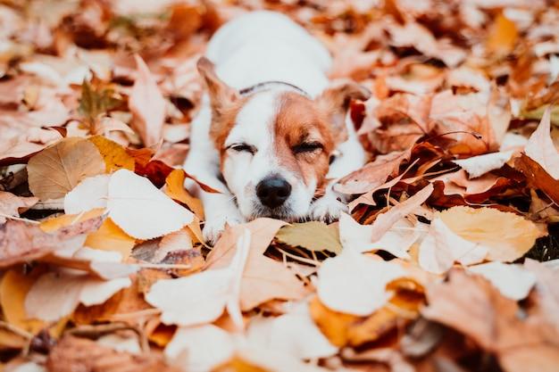 Leuke kleine jack russell hond buiten liggen, rustend op bruine bladeren