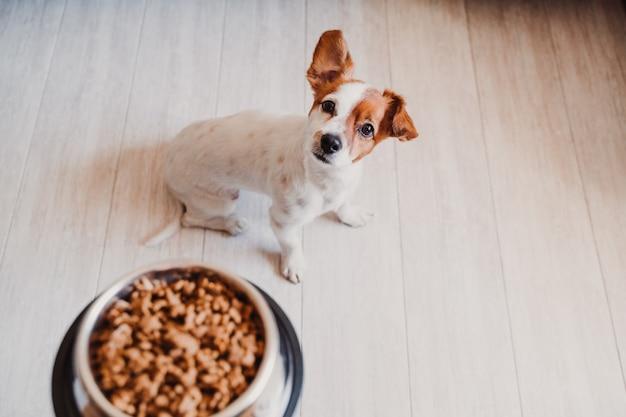 Leuke kleine jack russell hond die thuis wacht om zijn voedsel in een kom te eten. huisdieren binnenshuis