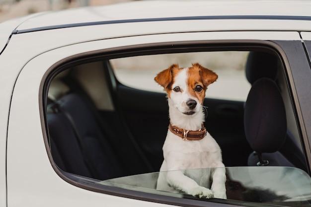 Leuke kleine jack russell hond in een auto kijken door het raam