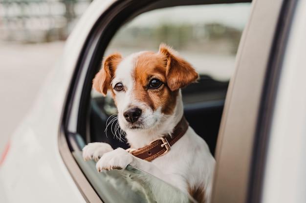 Leuke kleine jack russell hond in een auto kijkt door het raam