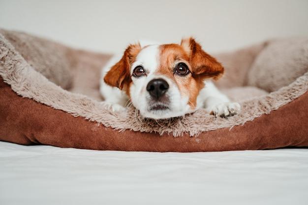Leuke kleine jack russell hond liggend op zijn bed, op zoek naar camera
