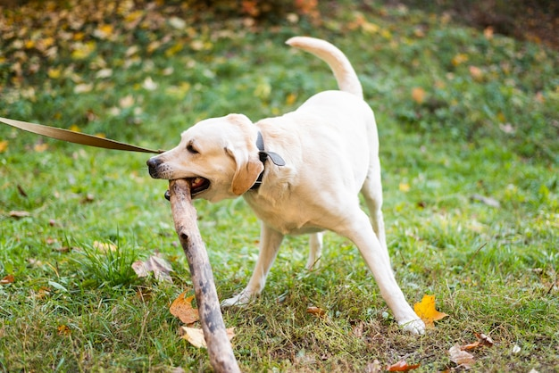 Leuke labrador buiten spelen