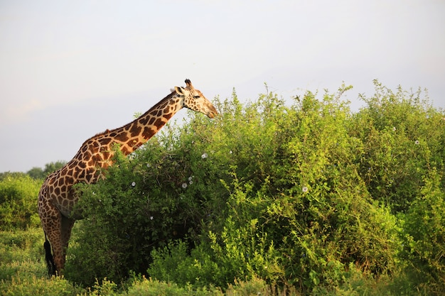 Leuke massai giraffe in tsavo east national park, kenia, afrika
