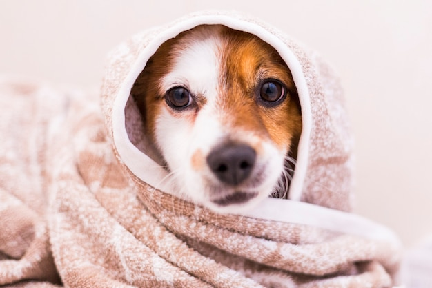 Leuke mooie kleine hond die met een handdoek in de badkamer wordt gedroogd. huis. binnenshuis.