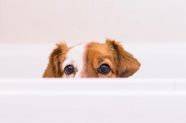 Leuke mooie kleine hond klaar om een bad in de badkuip te hebben. binnenshuis. thuis, badkamer.