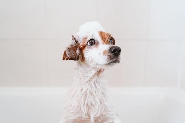 Leuke mooie kleine hond nat in badkuip, schone hond met grappige schuimzeep op kop. huisdieren binnenshuis