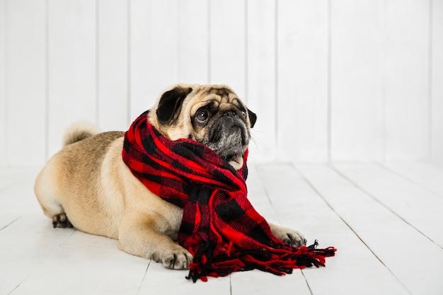 Leuke mopshond die geruite sjaal draagt