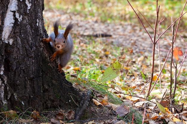 Leuke nieuwsgierige eekhoorn in de herfstbos die uit van achter een boom gluren