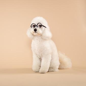 Leuke pluizige witte poedel die bril draagt