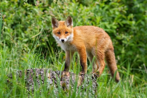 Leuke potrait van jonge rode vos die zich op de stomp in het bos bevindt
