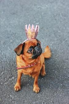 Leuke prinseshond kleine brabanson in roze glanzende kroon op grijze ba