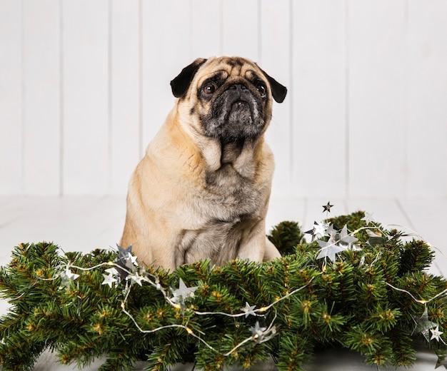 Leuke pug dichtbij de decoratie van pijnboomtakken