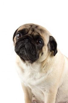 Leuke pug hond die onschuldig kijkt