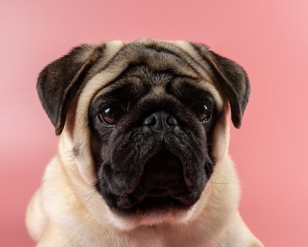 Leuke pug hond zittend op roze achtergrond.