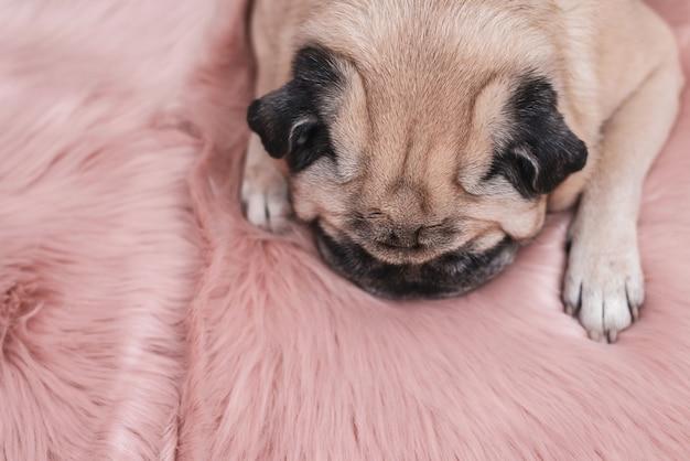Leuke pug slaapt op roze bonttapijt. slaperig en gezellig concept.