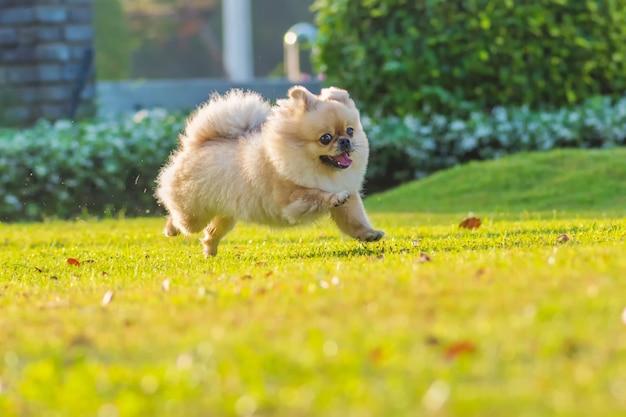 Leuke puppies pomeranian gemengde ras pekingese hond loopt op het gras met geluk