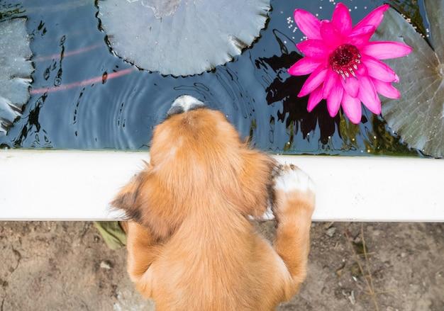 Leuke puppy drinkt het water op de vijver, en mooie roze lotus.