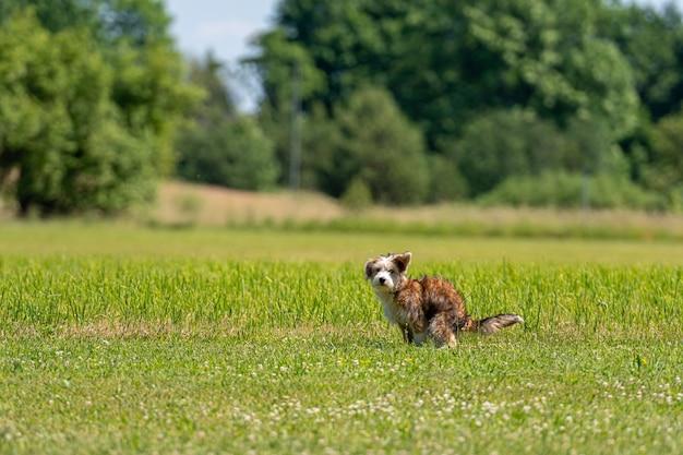 Leuke puppy van gemengd ras poept in het gras op een zonnige zomerdag