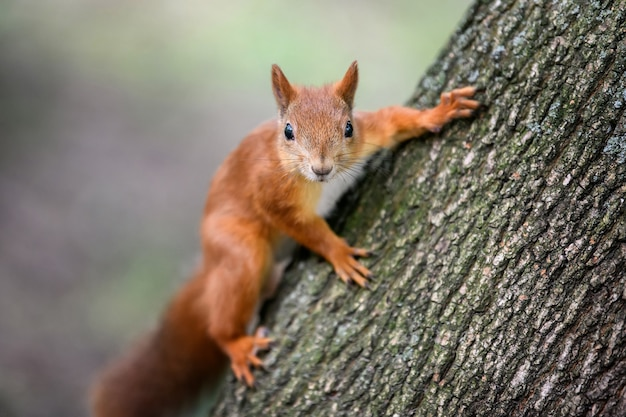 Leuke rode eekhoorn met lange puntige oren op boom in de herfstbos