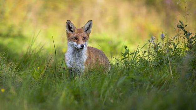 Leuke rode vos die zich in lange groene vegetatie op weide in de zomer bij zonsopgang bevindt