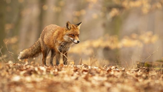 Leuke rode vos met pluizige staart die door jonge bomen dwaalt
