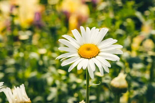 Leuke romantische bloem van madeliefje met levendig geel stuifmeel en lange witte bloemblaadjes dicht omhoog