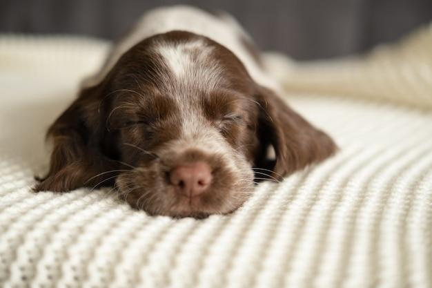 Leuke russische spaniel chocolade merle blauwe ogen puppy hondje liegen en slapen op witte geruite bank.