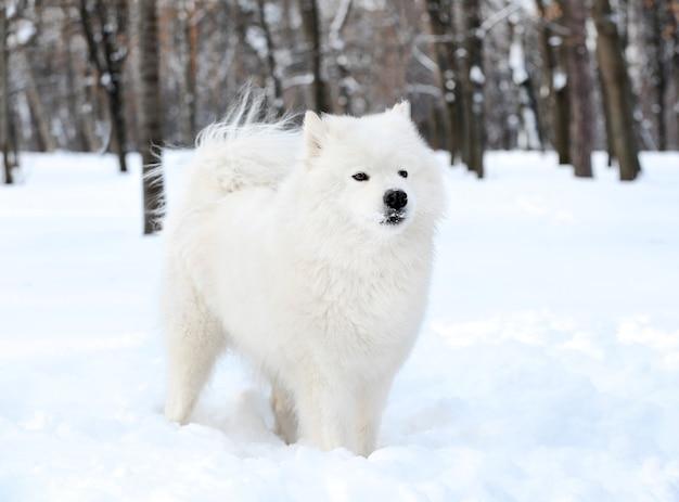 Leuke samojeed-hond in park op de winterdag