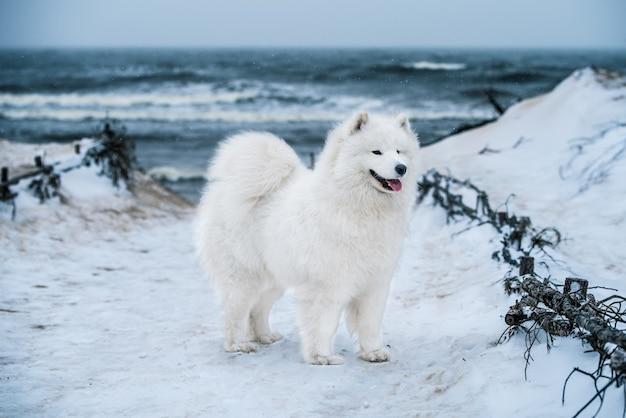 Leuke samojeed witte hond is op sneeuw carnikova baltische zee strand in letland. witte pluizige hond is als een teddybeer