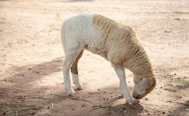 Leuke schapen zien vee met lange wol onder ogen