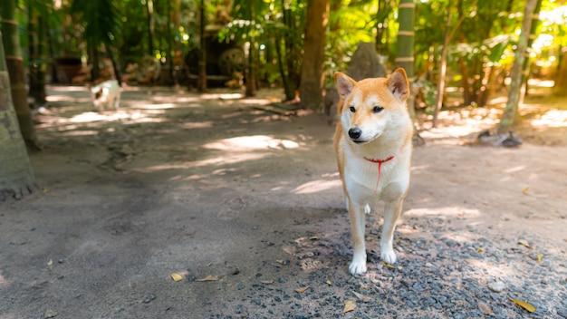 Leuke shiba inu-hondtribune op weg met groen bos