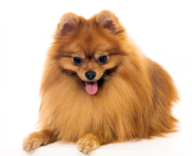 Leuke spitz hond