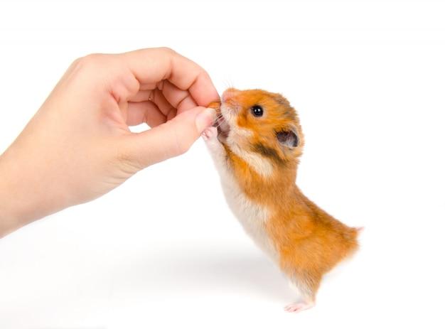 Leuke syrische hamster die een noot van een menselijke hand neemt