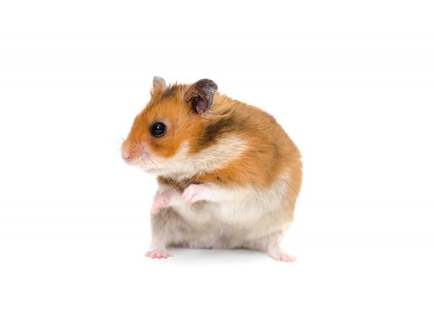 Leuke syrische hamster zittend op zijn achterpoten en zijwaarts op zoek