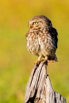 Leuke uil, kleine vogel met grote ogen