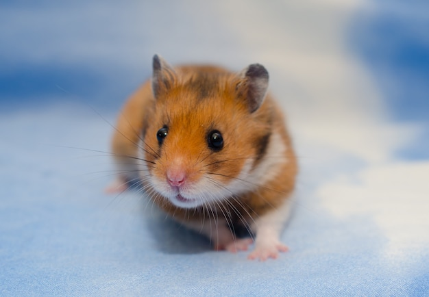 Leuke uiterst kleine syrische hamster op een heldere blauwe achtergrond