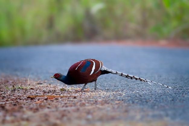 Leuke vogels in de natuur, hume's fazant, fume van mevrouw hume, fazant met staarten (syrmaticus humiae)