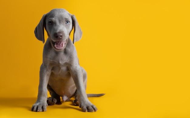 Leuke weimaraner-puppy die op een gele achtergrond wordt geïsoleerd
