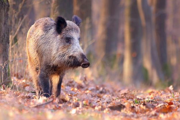 Leuke wilde zwijnen die in de herfst door het zonnige bos dwalen.