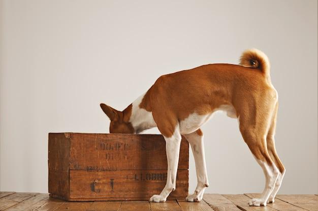 Leuke witte en bruine basenji-hond die in een oude bruine wijndoos kijkt die op wit wordt geïsoleerd