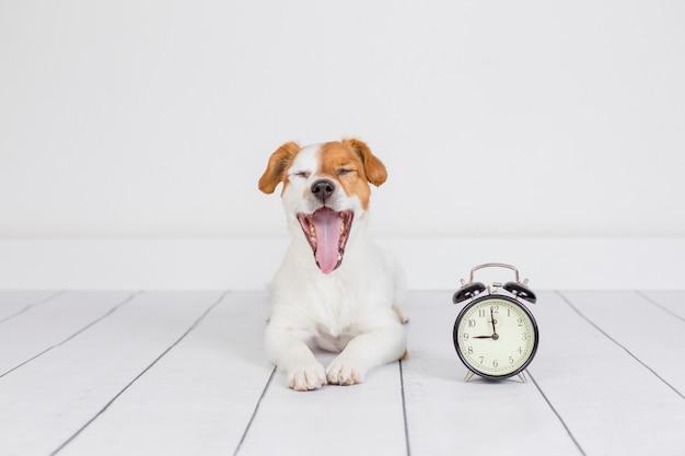 Leuke witte kleine hond die op de vloer en de geeuw ligt. wekker met 9 uur trouwens. wakker worden en ochtendconcept. huisdieren binnenshuis