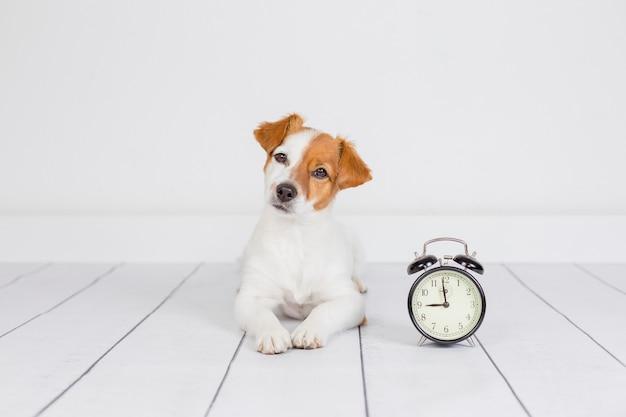 Leuke witte kleine hond die op de vloer ligt. wekker met 9 uur trouwens. wakker worden en ochtendconcept. huisdieren binnenshuis