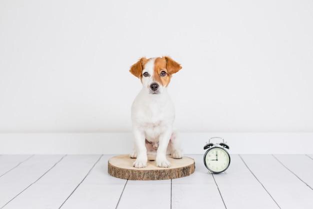 Leuke witte kleine hondzitting op de vloer. wekker met 9 uur trouwens. wakker worden en ochtendconcept. huisdieren binnenshuis
