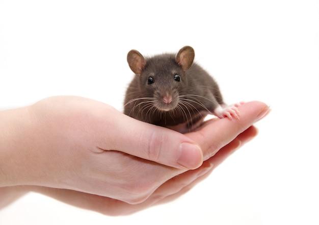 Leuke zwarte laboratorium rat baby in menselijke handen