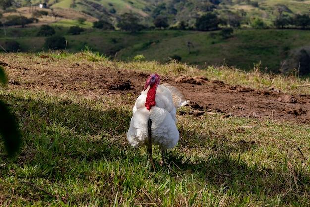 Levend kalkoen die op het gras op een boerderij loopt