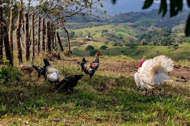 Levend kalkoen lopen op het gras op een boerderij met haan en kippen