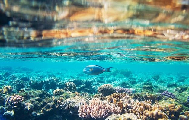 Levend koraalrif in de rode zee, egypte. natuurlijke ongebruikelijke achtergrond.