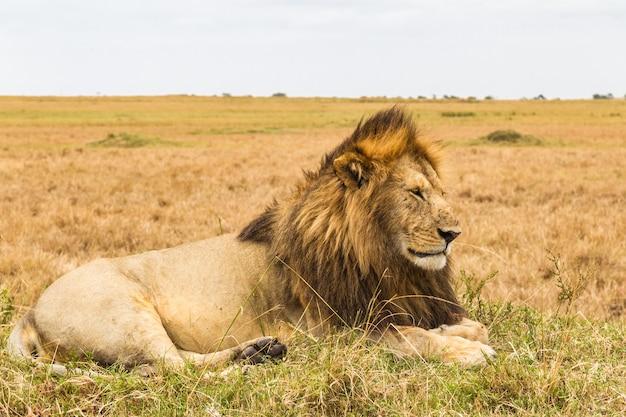 Levende sfinx afrikaanse leeuw masai mara kenia